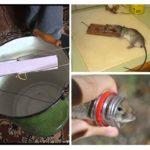 Uitroeiing van ratten thuis