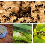 Soorten mieren