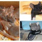 Schade van muizen