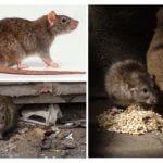Schade van ratten