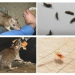 Hoe ratten mensen infecteren