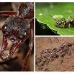 Ant-leven