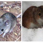 Muis leven
