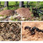 Mierenhoop leven