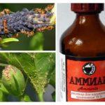 Ammoniak van bladluis