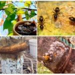 Berkenteer in de tuin van mieren