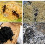 Volksrecepten van mieren