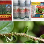 Chemische methoden voor de vernietiging van bladluizen