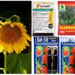 Giftige chemicaliën van bladluizen op zonnebloem