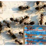 Masha van de mieren