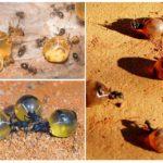 Honey ant-missie