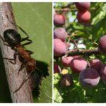Mieren op pruim