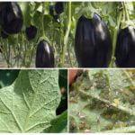 Bladluizen op aubergine