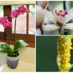 Bladluis op orchidee