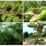 Schade veroorzaakt door bladluizen