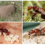 Rode mierenhabitat