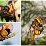 Aziatische gigantische hornet moordenaar
