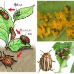 Levenscyclus van de colorado-aardappelkever