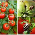 De coloradokever van Colorado op tomaten