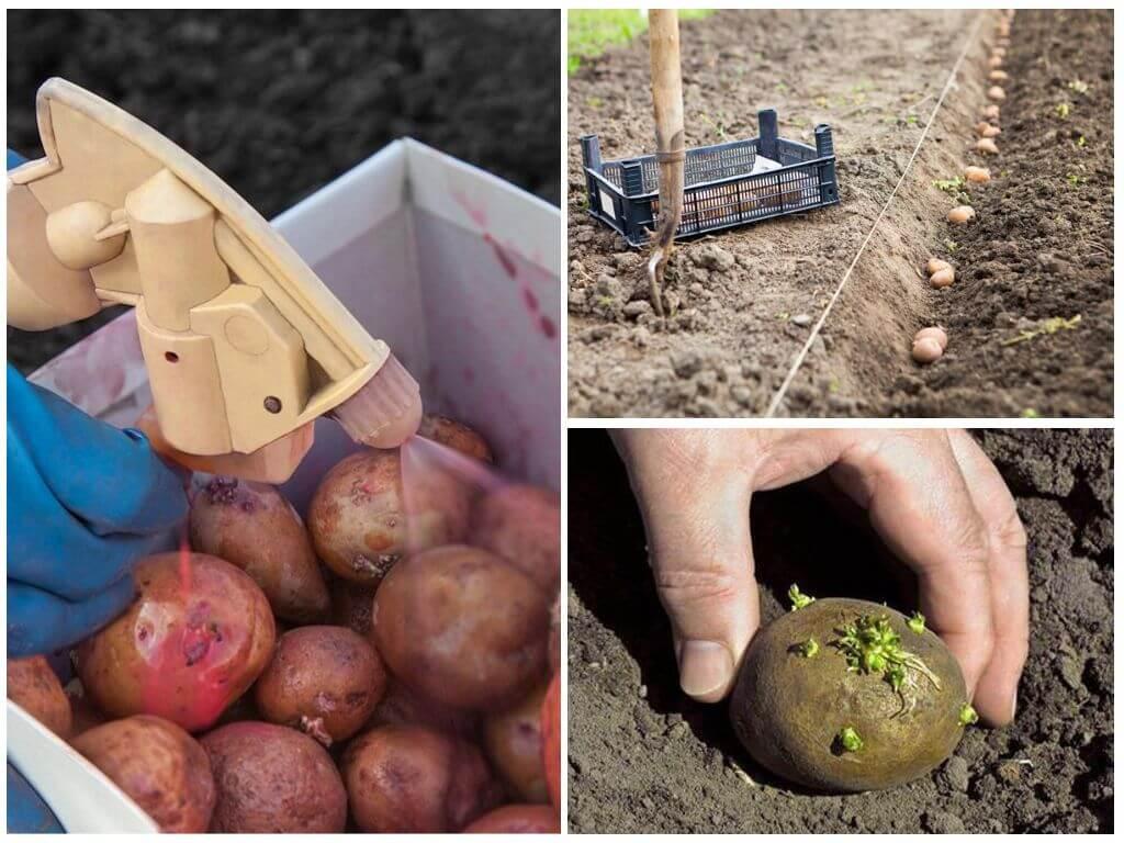 Aardappelen voor het planten