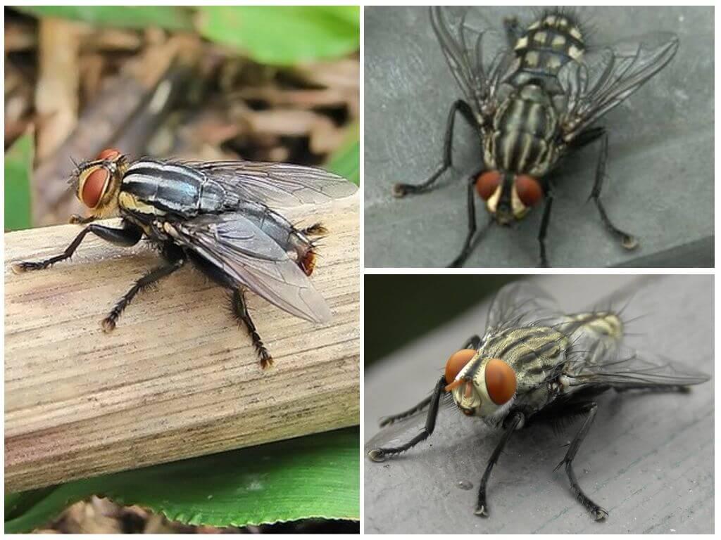 Menselijke huid Gadfly