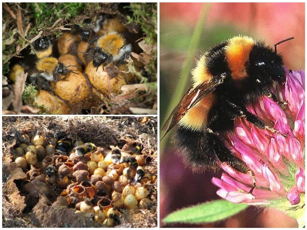 Bumblebee nest