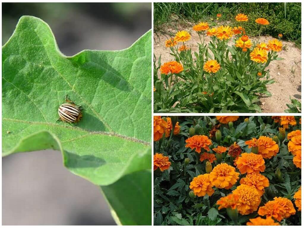 Planten afschrikken Colorado coloradokever