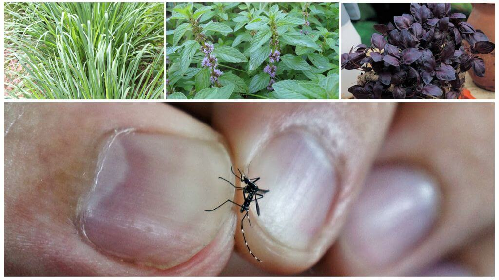 Muggenkruiden
