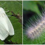 Amerikaanse witte vlinder