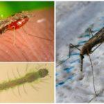 Malariamuggen