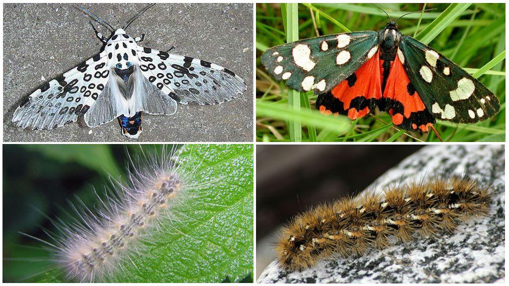 Vlinder draagt
