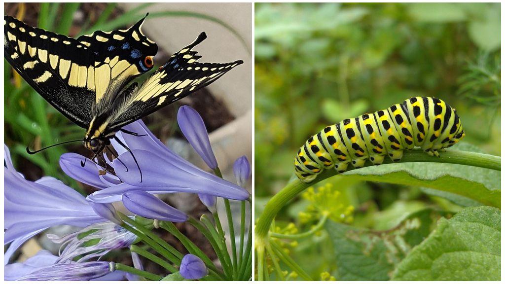 Vlinderzwarte zwaluwstaart