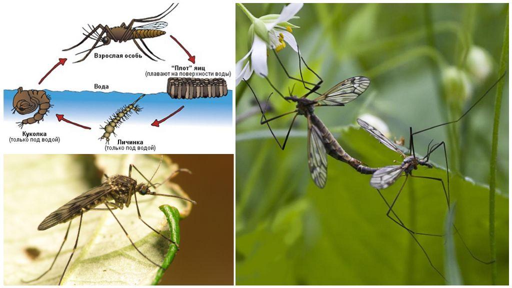 Mosquito fokken cyclus