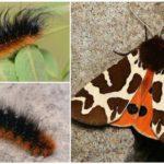Butterfly Bear Kaya