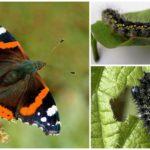 Rupsen vlinder admiraal