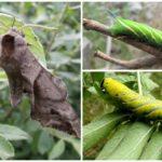 Hawthorn Caterpillar