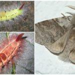 Redtail Caterpillar