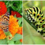 De vlinder van de zwaluwstaart en zijn rupsband