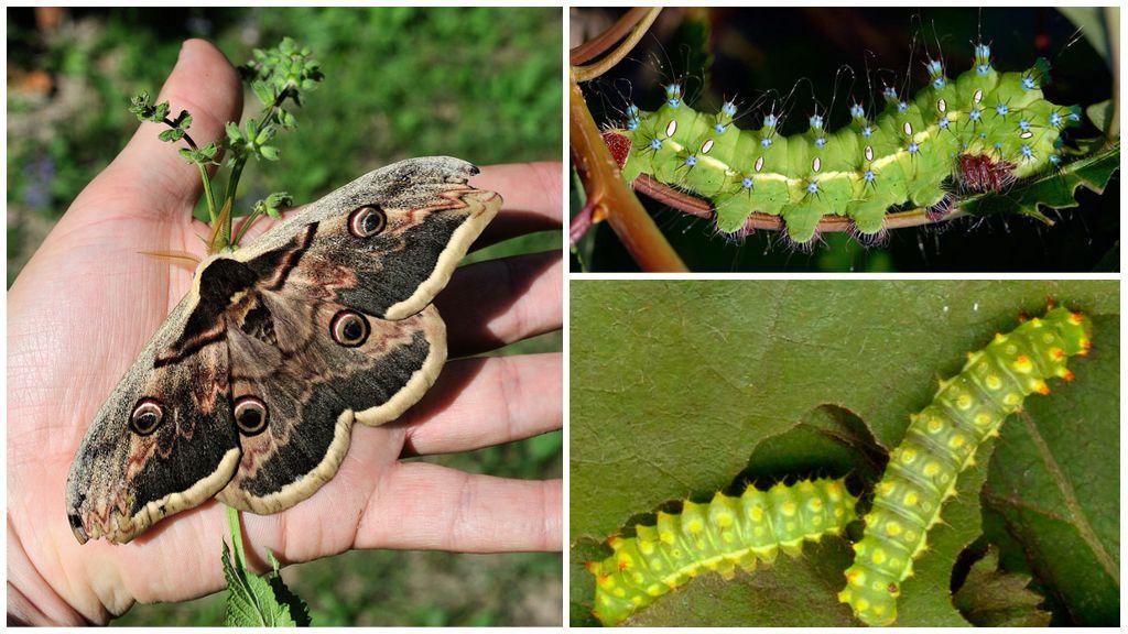 Peacock Caterpillar