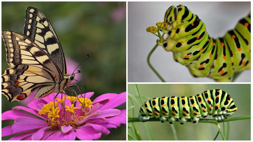 Swallowtail rups