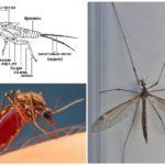 Mosquito anatomie