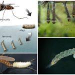 Mosquito levenscyclus