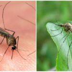 Muggen van het soort kuleks