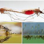 Mosquito levensstijl