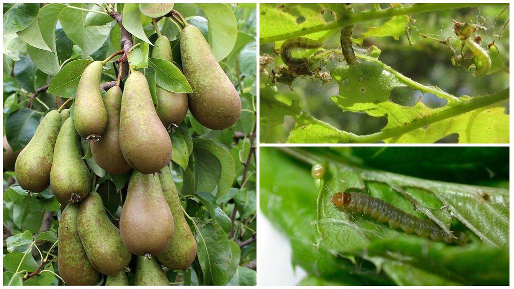 Mot op pear