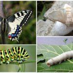 Swallowtail en zijn rups aan de linkerkant, de zijderups en zijn larve aan de rechterkant