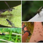 Blackflies en muggen