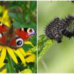 Butterfly-pauwoog en zijn rupsband
