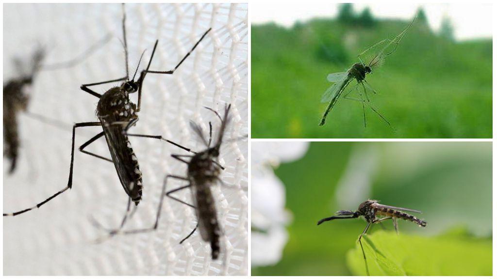 Mosquito piep