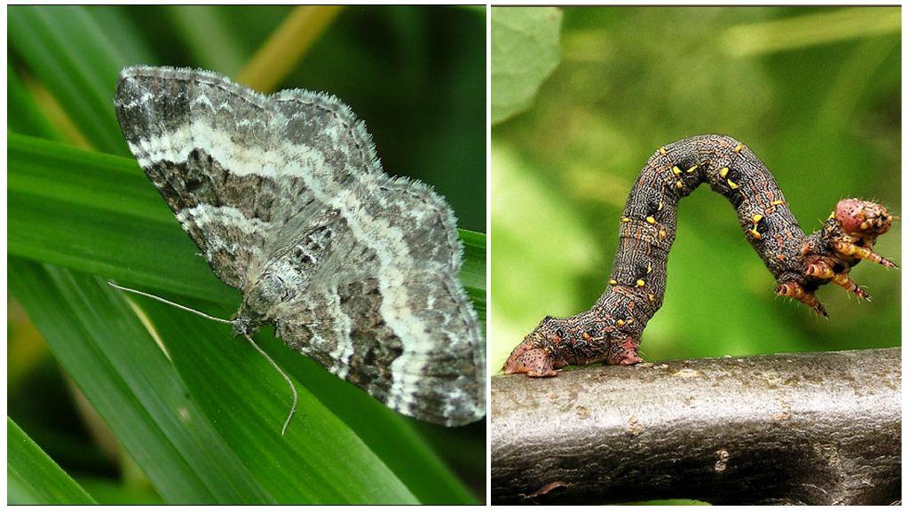 Vlinder mot rups